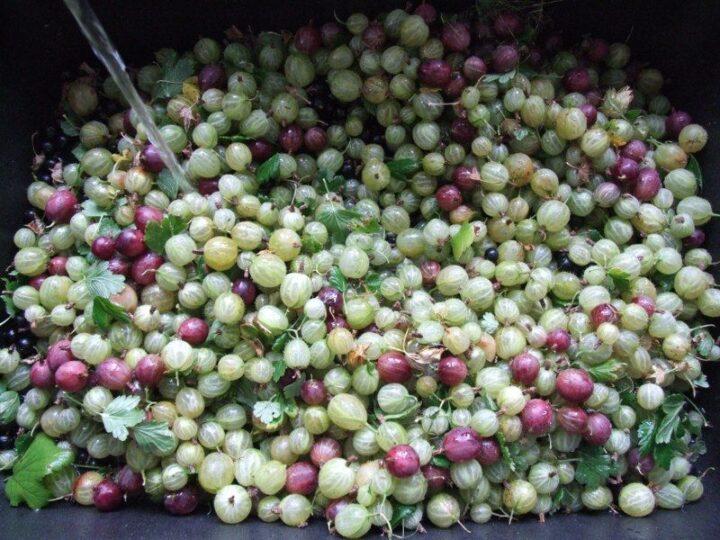 Bær skylles og renses