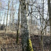 Birketræ i skov