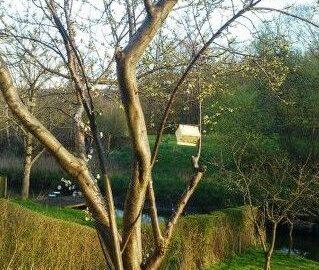 Blommeviklerfælde i ophængt i blommetræ