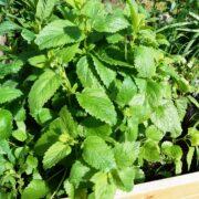 Citronmelisse plante