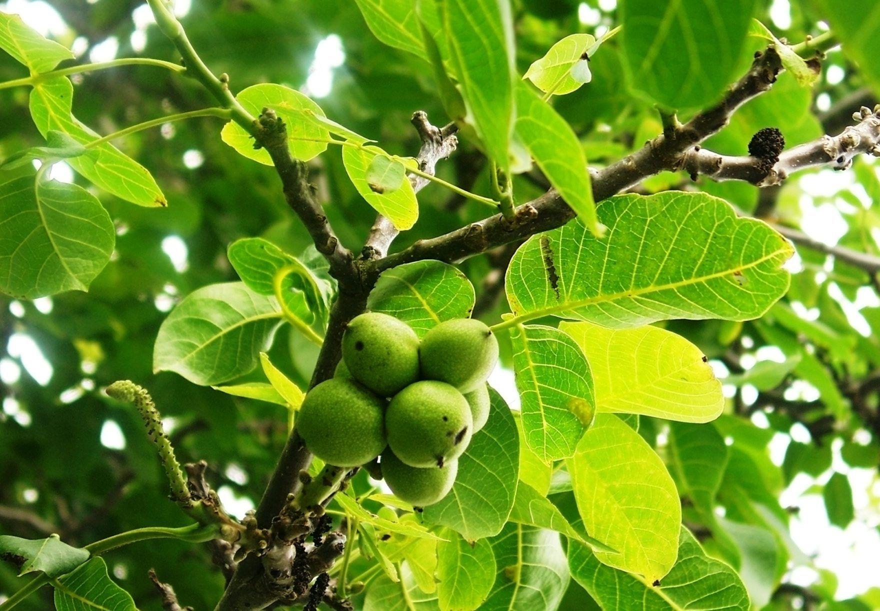 Grønne valnødder på træ