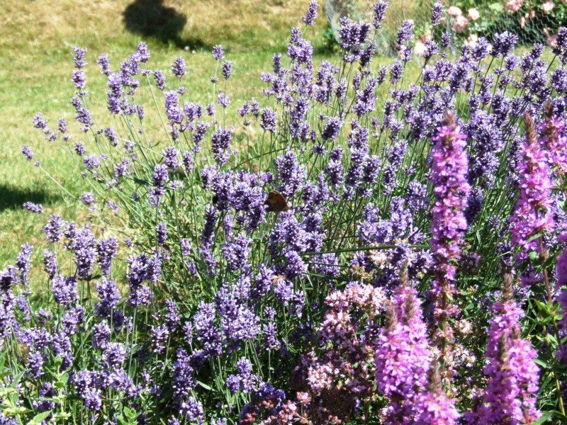 Lavendel i blomst