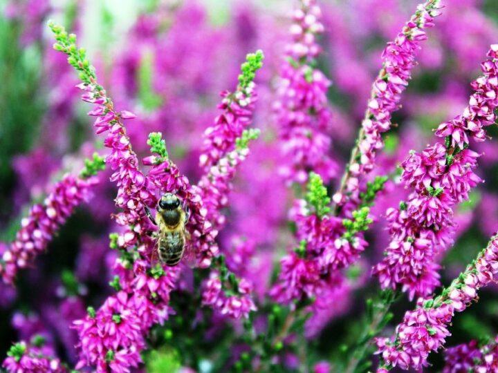 Bi der suger nektar i lyngblomster