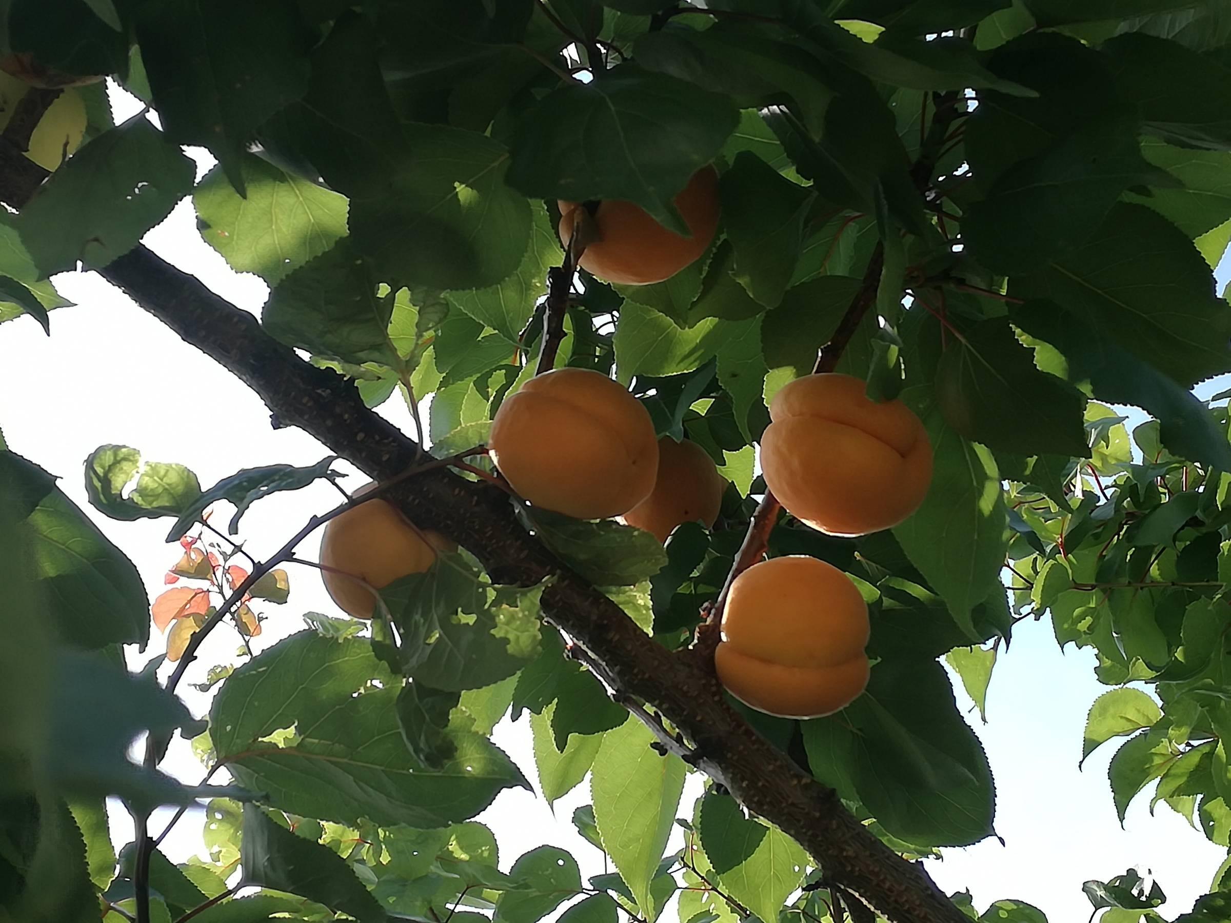 Gule abrikoser på abrikostræ