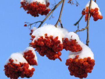Rønnebær med sne
